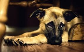 Dog wit face in paws looking sad