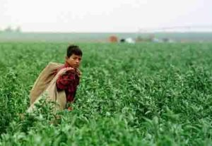 Chris Nino, 11, carries empty pepper bags across a Plainview, Texas, field Sept. 21, 1997. Workers like Chris may earn as little as $1.20 per full bag of chili peppers. (AP Photo/Pat Sullivan)