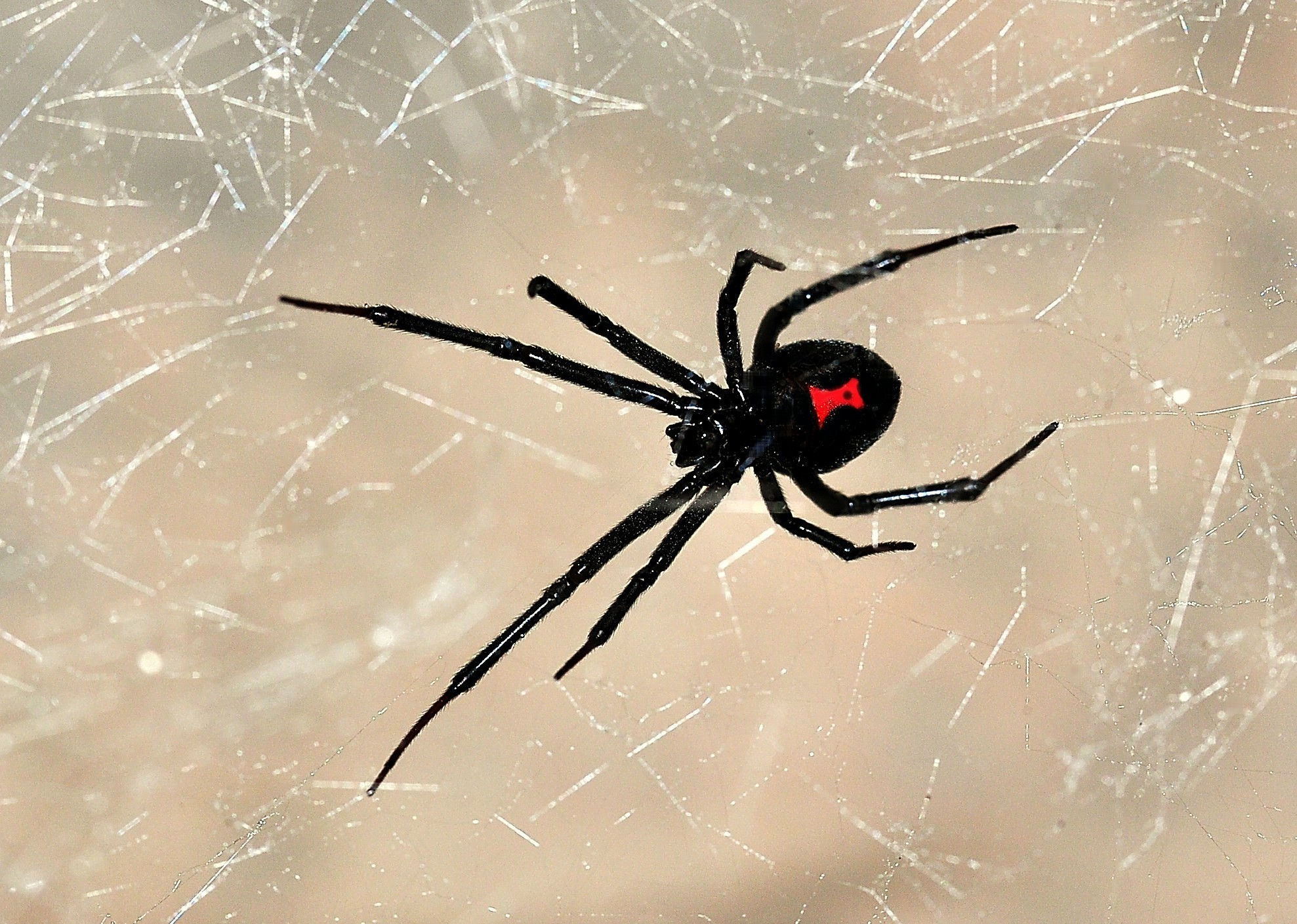 Vegan ethics and the case for black widow spiders corey for How to stop spiders coming in your home